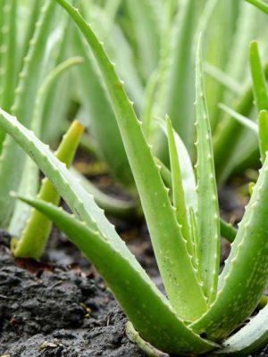 آلوورا - آلوئه ورا یا صبر زرد چیست و ترکیبات این گیاه
